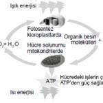 Açık Lise Biyoloji 5 (Seçmeli Biyoloji 1) Dersi Terimler Sözlüğü
