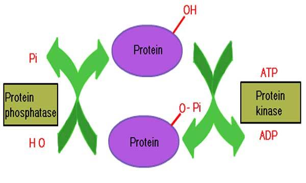 Fosforilasyon Nedir, Fosforilasyon Çeşitleri ve Özellikleri Nelerdir?