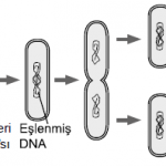 Açık Lise Biyoloji2 Online Test 11
