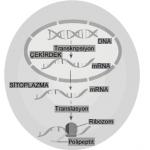 Açık Lise Seçmeli Biyoloji 3 Biyoloji 7 Online Testi 3