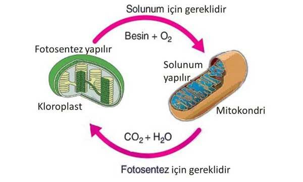 Mitokondri ve kloroplast organelleri nedir, ortak özellikleri nelerdir?