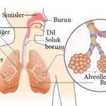 Açık Lise Seçmeli Biyoloji 2 (Biyoloji 6) Solunum Sistemi Konu Testi